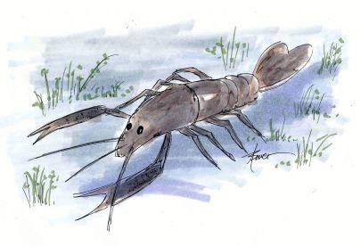 Crawfish 8-18-15